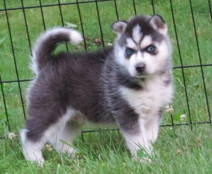 Quality Male and Female Siberian Husky Puppies For Sale
