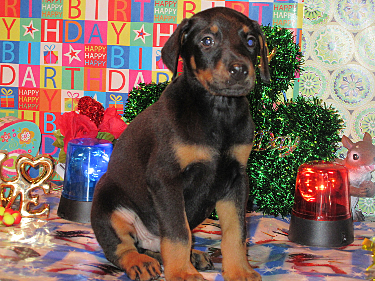 DOBERMAN PINSCHER PUPPIES FOR SALE /  VIDEOS EMAILED TO YOUR COMPUTER / IS THIS HALLOWEEN THE NIGHT YOUR DOBERMAN COMES HOME?